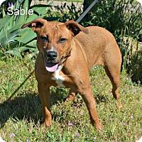 Adopt A Pet :: Sable - Yreka, CA