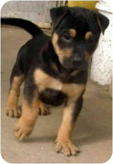 Rottweiler puppies for sale kansas city mo
