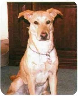 Labrador Retriever/Greyhound Mix Dog for adoption in Buffalo, New York - Shelby