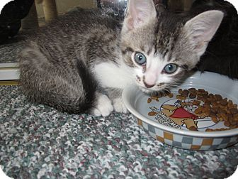 Domestic Shorthair Kitten for adoption in Chesterfield Township, Michigan - Harley