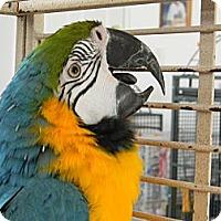 Adopt A Pet :: Sherlock - Punta Gorda, FL
