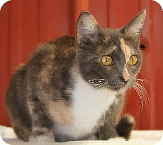 Calico Cat for adoption in Savannah, Missouri - Sally