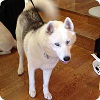 Siberian Husky Mix Dog for adoption in Garland, Texas - Luka