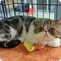 Adopt A Pet :: Amelia - Beverly Hills, CA