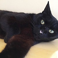 Domestic Shorthair Cat for adoption in Boca Raton, Florida - Rookie