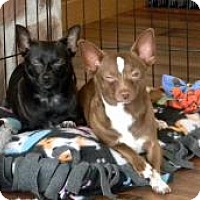 Chihuahua Dog for adoption in South Amboy, New Jersey - Barbie