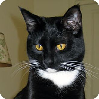 Domestic Shorthair Cat for adoption in Pacific Grove, California - Checkers