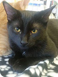 Domestic Shorthair Cat for adoption in Lenhartsville, Pennsylvania - Bear