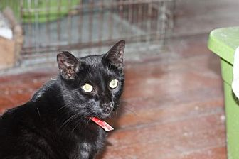 Domestic Shorthair Cat for adoption in Liverpool, New York - Alden