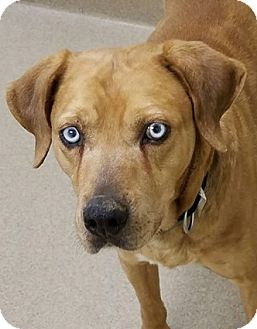 Catahoula Leopard Dog Mix Dog for adoption in Warren, Maine - Bordeaux - NY