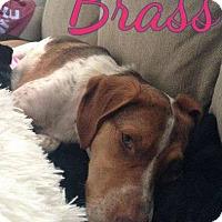 Adopt A Pet :: Brass - WESTMINSTER, MD