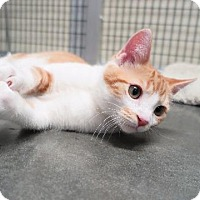Adopt A Pet :: Swagger - Raleigh, NC