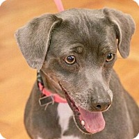 Miniature Pinscher/Mixed Breed (Medium) Mix Dog for adoption in Knoxville, Tennessee - Penelope