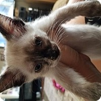 Adopt A Pet :: Andromeda - Glendale, AZ
