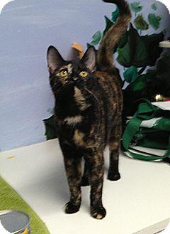 Domestic Shorthair Kitten for adoption in Patterson, New York - Pretty Girl