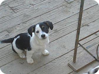 Jack Russell Terrier/Corgi Mix Puppy for adoption in Atascadero, California - Panda