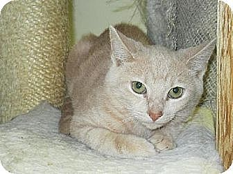 Domestic Shorthair Cat for adoption in Centreville, Virginia - Ricky