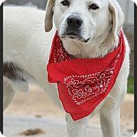 Adopt A Pet :: Max - Franklin, TN