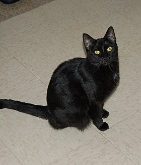 Domestic Shorthair Cat for adoption in Brainardsville, New York - Placid