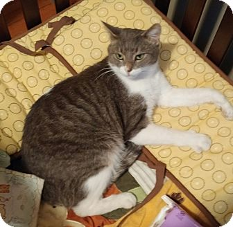 Domestic Shorthair Cat for adoption in Lewis Center, Ohio - Buster