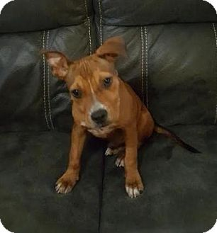 Boxer/Jack Russell Terrier Mix Dog for adoption in Homestead, Florida - Jax