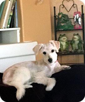 Schnauzer (Miniature)/Terrier (Unknown Type, Small) Mix Dog for adoption in Tijeras, New Mexico - Zen