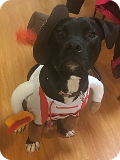 Pit Bull Terrier Mix Dog for adoption in Woodland, California - Sampson
