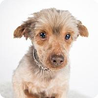 Yorkie, Yorkshire Terrier Dog for adoption in St. Louis Park, Minnesota - Antigo