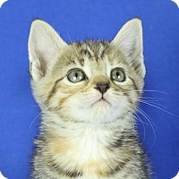 Adopt A Pet :: Dolby - Winston-Salem, NC