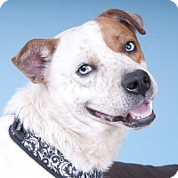 Adopt A Pet :: Turbo-Blue - Chicago, IL