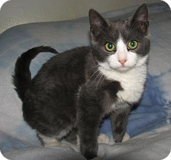 Domestic Shorthair Kitten for adoption in Norwich, New York - Hans