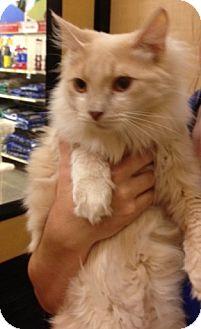 RagaMuffin Cat for adoption in Monroe, Georgia - Joey