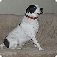 Dalmatian Mix Dog for adoption in waterbury, Connecticut - Mama Mags