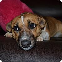 Adopt A Pet :: Puffin - Homewood, AL