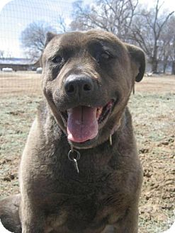 German Shepherd Dog/Pit Bull Terrier Mix Dog for adoption in Denver, Colorado - Jordan Bear (Courtesy Post)