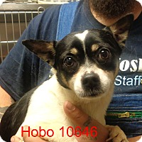 Adopt A Pet :: Hobo - Greencastle, NC