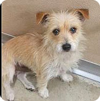 Terrier (Unknown Type, Small) Mix Dog for adoption in Spokane, Washington - Toby