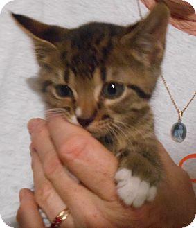 Domestic Shorthair Kitten for adoption in Parkton, North Carolina - Tony