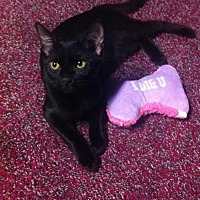 Domestic Shorthair Kitten for adoption in Harrisburg, Pennsylvania - Lacy (teenage female)