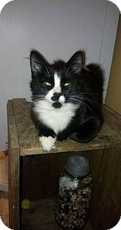 Domestic Longhair Kitten for adoption in Carlisle, Pennsylvania - Tiana