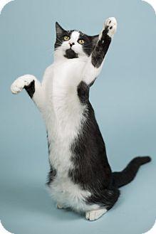 Domestic Shorthair Kitten for adoption in Lombard, Illinois - Jameson