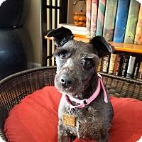 Adopt A Pet :: Nikki~~ADOPTION PENDING - Sharonville, OH
