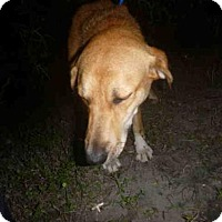 Golden Retriever Mix Dog for adoption in Naples, Florida - EMMA