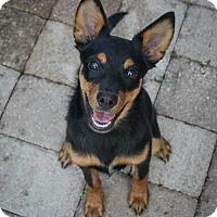 Chihuahua Mix Puppy for adoption in Jupiter, Florida - Banjo