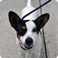 Jack Russell Terrier Mix Puppy for adoption in Fairfax Station, Virginia - Katie