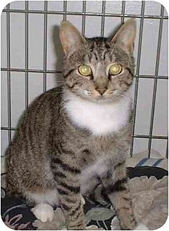 Domestic Mediumhair Cat for adoption in Stuarts Draft, Virginia - Mac