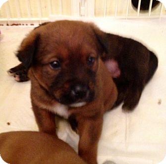 Mastiff/English Mastiff Mix Puppy for adoption in ST LOUIS, Missouri - Johnny