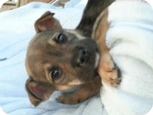 Shepherd (Unknown Type)/Boxer Mix Puppy for adoption in Marlton, New Jersey - Baby Polly