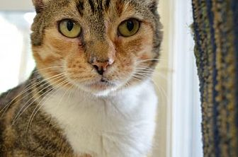 Domestic Shorthair Cat for adoption in Griswold, Connecticut - Gigi