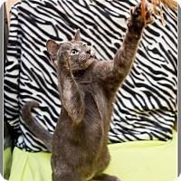 Domestic Shorthair Cat for adoption in McDonough, Georgia - Malachi